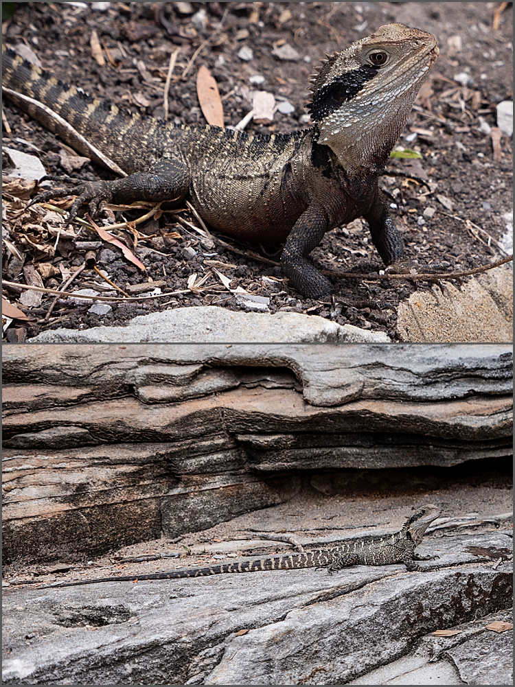 Water dragons of Sydney