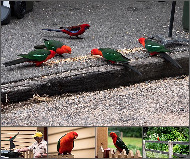 King Parrots & Crimson Rosella