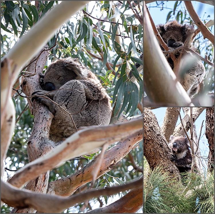 Koalas by Kennett River