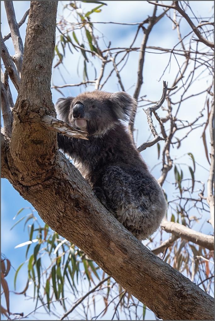 Koalas by Kennett River, Victoria, Australia