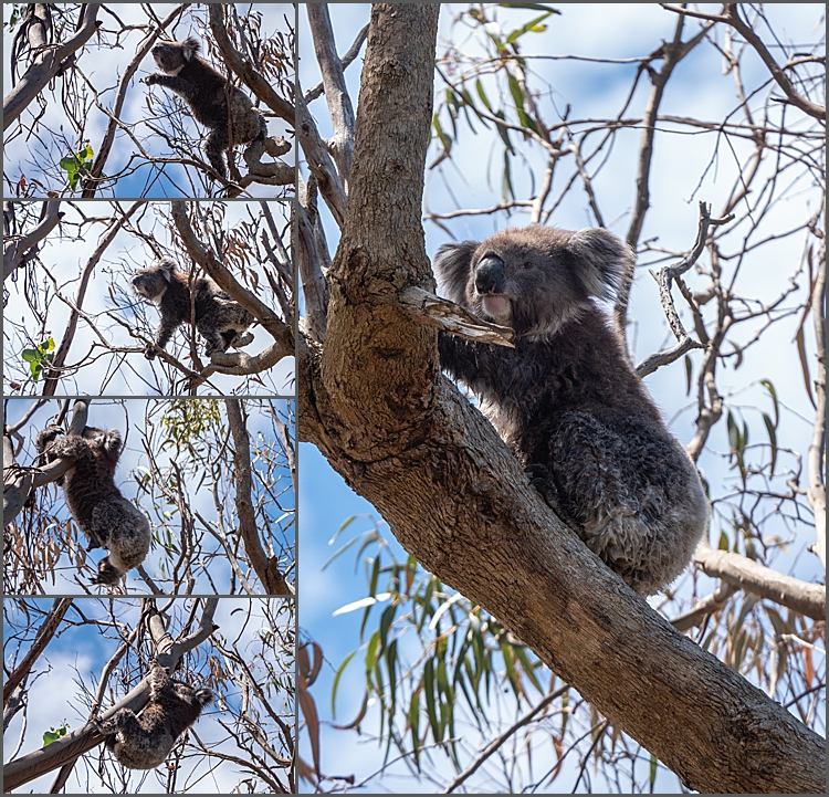 koalas at Kennett River, Victoria, Australia