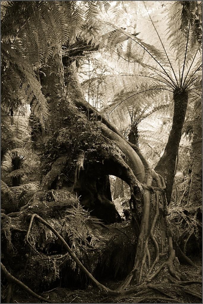 Maits Rest rainforest, Victoria, Australia