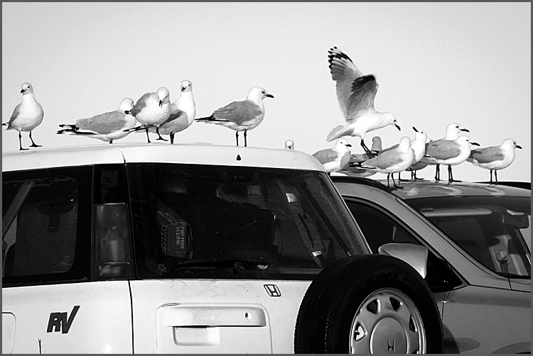 Seagulls on cars at the Port Campbell Visitor Centre, Twelve Apostles