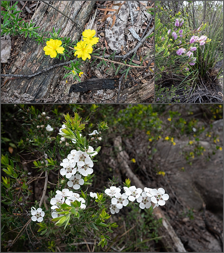 Flowers on The Pinnacle Walk, Grampians Nat Park, Victoria,