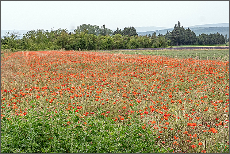 Field of poppies in Provence.